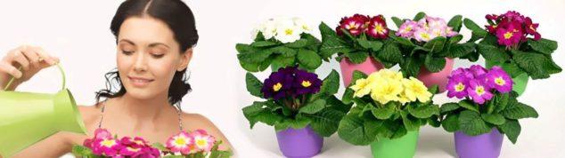 Узамбарская фиалка - цветок для избранных.